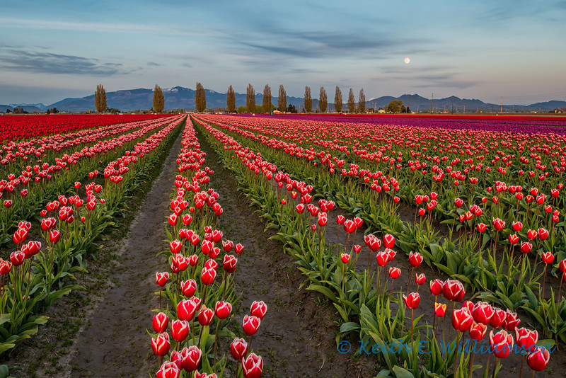 Tulips field, and rising moon