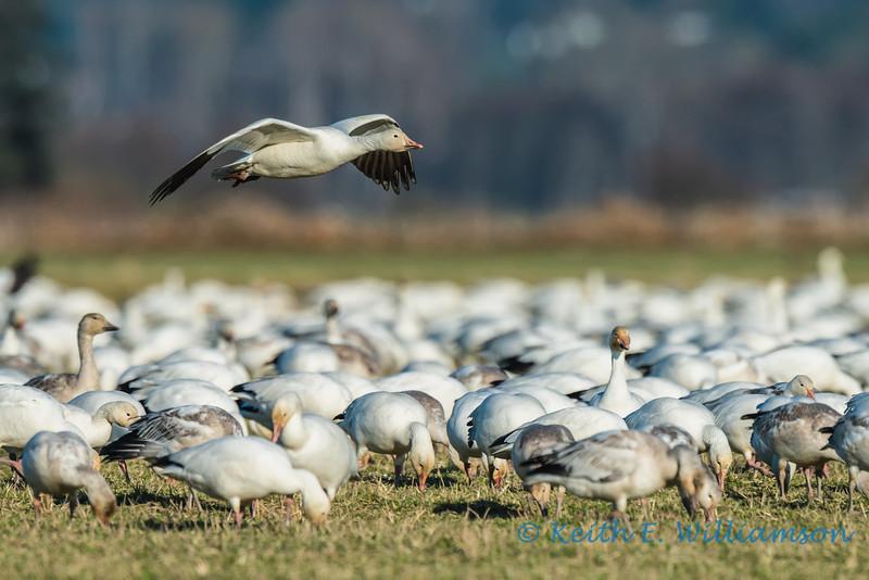 Snow Goose fly over, Fir Island