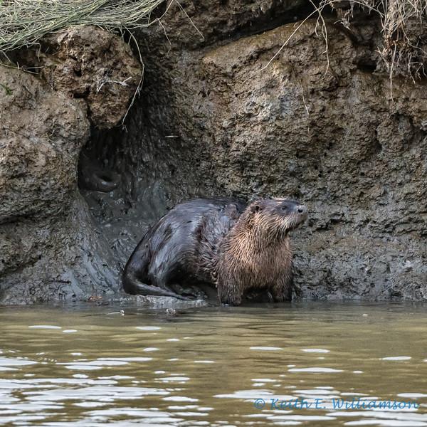 River Otter and den, Fir Island