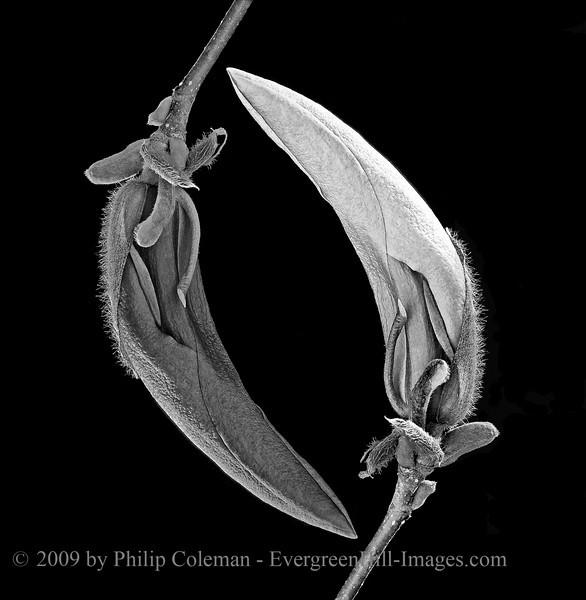 Broken Symmetry - Magnolia Bud