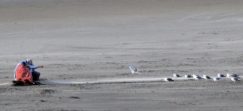 Feeding Gulls, Coastal Oregon