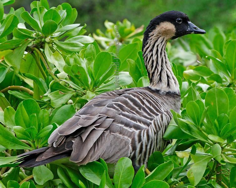 Nene goose, Kauai