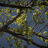 Branches with Spring Leaves