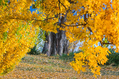 Canopy Of Fall Leaves
