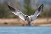 Caspian tern, landing