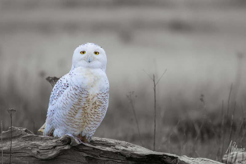 Yellow Eyes on Snowy Owl