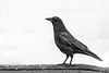 Black and White Crow