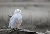 Yellow Eyes on Snowy Owl