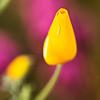 Poppy (7325)