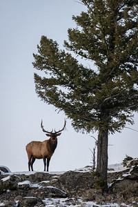 Ridgeline Elk