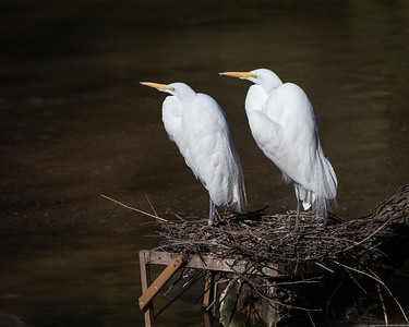 Nesting Great Egrets