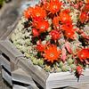 bursting peanut cactus