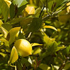 grandma's lemon tree