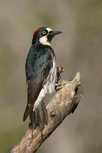 Acorn Woodpecker Madera Canyon, AZ