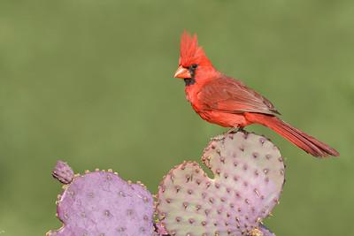 Northern Cardinal Green Valley, AZ
