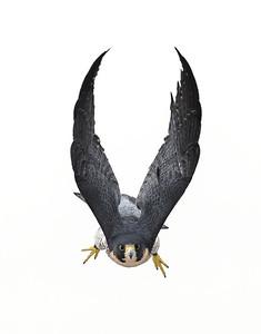 Peregrine Falcon (c) Northern Colorado