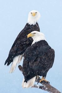 Bald Eagle Kachemak Bay Wilderness Area, AK