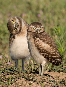 Burrowing Owls Greeley, CO