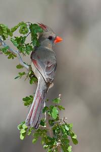 Northern Cardinal Female Martin Refuge Edinburg, TX