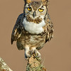 Great Horned Owl<br /> Laguna Seca Ranch.  Edinburg, TX