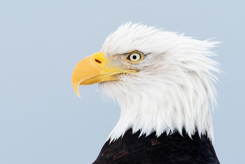 Bald Eagle Kachemac Bay Wilderness Area