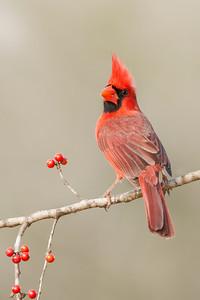 Northern Cardinal Sugar Land, TX