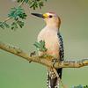 Golden-fronted Woodpecker<br /> Laguna Seca Ranch,  Edinburg, TX