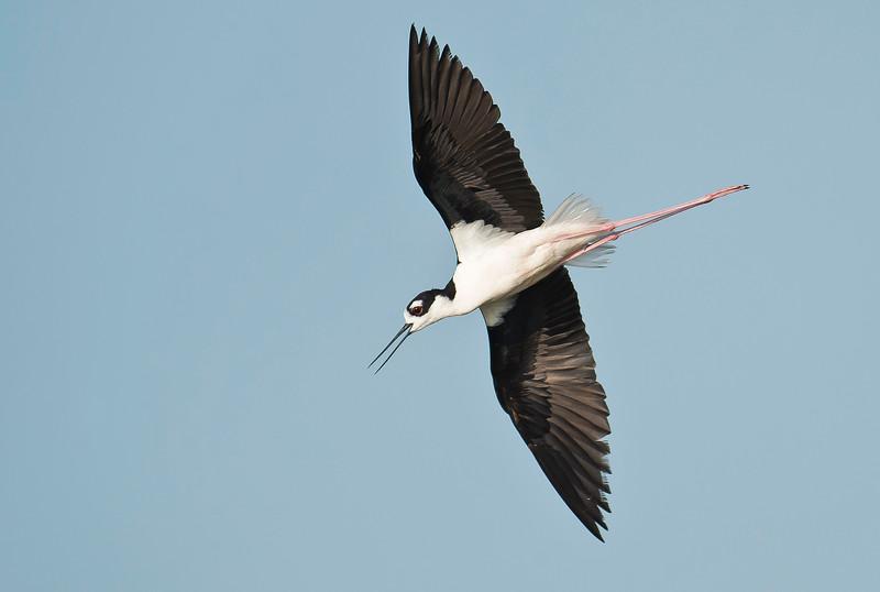 Black-necked Stilt Brazoria National Wildlife Refuge, TX
