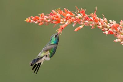 Broad-billed Hummingbird Madera Canyon, AZ