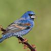 Blue Grosbeak<br /> Galveston, TX