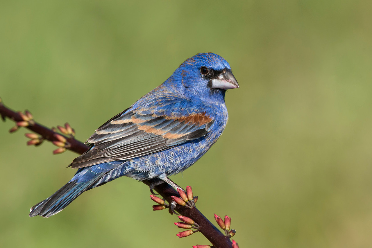 Blue Grosbeak Galveston, TX