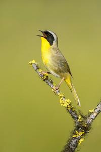Common Yellow Throat Lac LeJeune Kamloops, BC, Canada