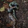 King Snake versus copperhead