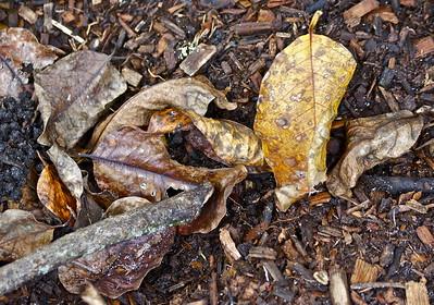 Leaves, Secret Woods Nature Preserve, Dania, Fla., Oct. 31, 2015.