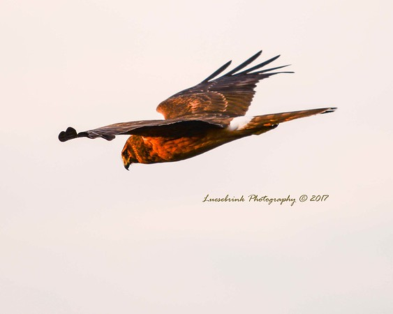 Sunset Hunting Hawk at Crex