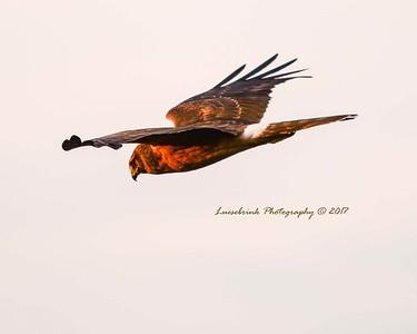 Sunset Hunting Hawk at Crex