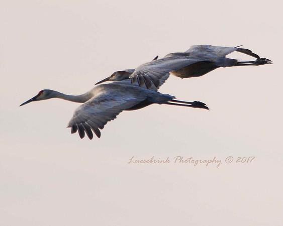 Landing at Sunset at Crex