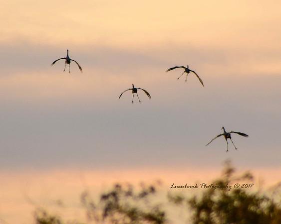 Crane Feet at Sunset Makes Me Giggle