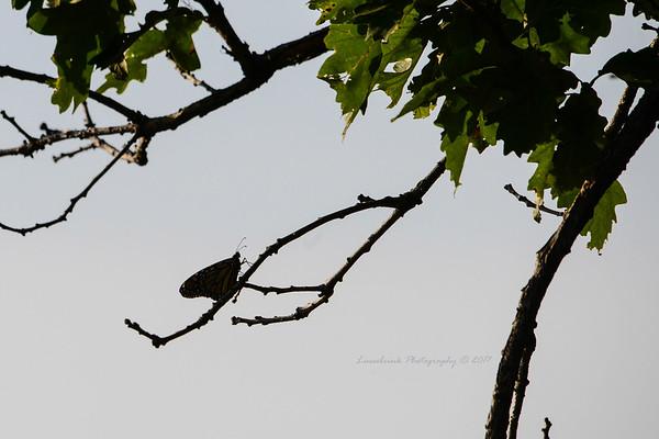 Monarch Silhouette at Carleton Arboretum