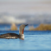 Red-throated Loon, on its nesting grounds near Barrow, Alaska
