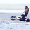 King Eider drake, in flight over the frozen arctic tundra