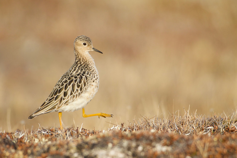 Buff-breasted Sandpiper on the lekking grounds near Barrow, Alaska