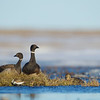 Pacific Brant, sharing their habitat with a Dunlin and a King Eider hen