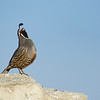 California Quail, calling from atop a rock near Van Brunt Mountain in Okanogan County, WA