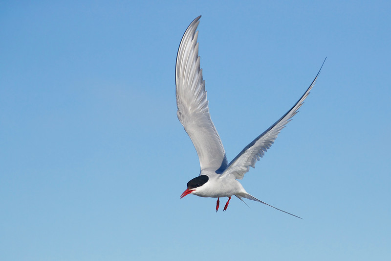 Arctic Tern, moments before he dove into a shallow puddle and came out with a tiny fish!