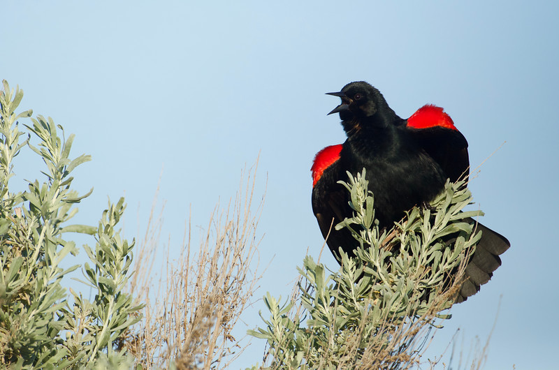 Red-winged Blackbird on Sagebrush