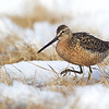 Long-billed Dowitcher, traversing the tundra