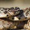 Bull Snake aggressively posturing