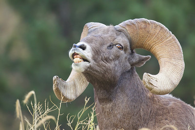 "Colorado Bighorn ram executing the flehmen response, a.k.a. ""lip curling"""