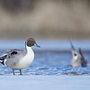 Pintail on ice!